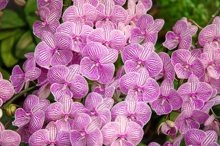 Refreshed Phalaenopsis Orchid Blooming flowers Joyful in Spring flower garden Colorful .
