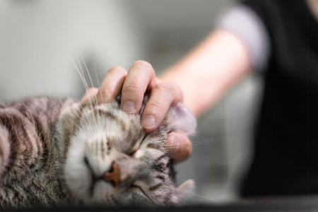 happy cat lovely comfortable sleeping by the woman stroking hand grip at . love to animals concept . Zdjęcie Seryjne