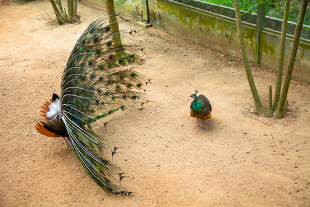 Peacock showing its beautiful feathers Spread tail-feathers are Flirt of peahen peacock are dating . Zdjęcie Seryjne