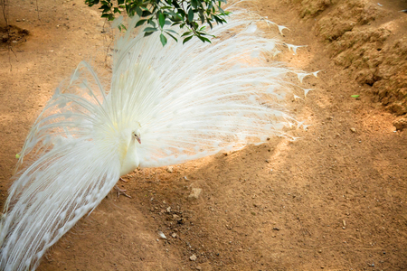 White Peacock showing its beautiful feathers Spread tail-feathers are Flirt of peahen peacock are dating .