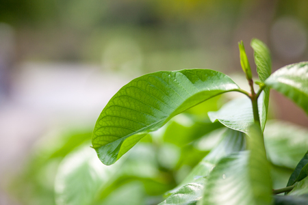 Background tropical green leaves  Plantae