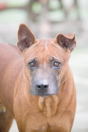 brown: Angry brown dog.