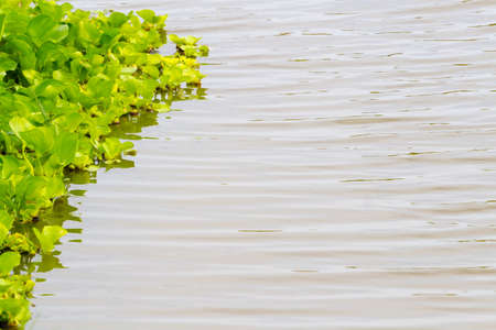 waterways: water hyacinth background :a free-floating tropical American water plant that has been introduced elsewhere as an ornamental and in some warmer regions has become a serious weed of waterways.