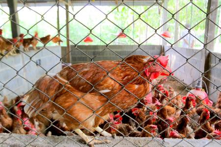 help me: Help me please,chicken in the chicken coop.