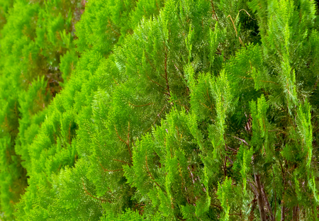 pine leaves background selection focus Stock Photo