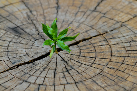strong seedling growing in the center trunk from a dead tree stump,business concept of emerging leadership success generating new business. Banco de Imagens