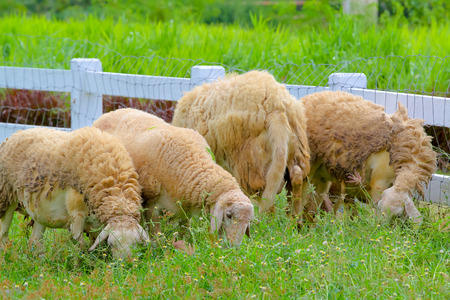 sheep eating grass on the farm
