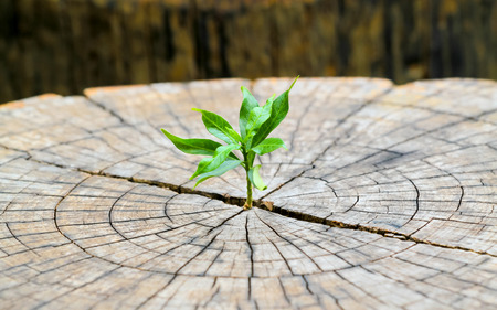 strong seedling growing in the center trunk from a dead tree stump,business concept of emerging leadership success generating new business. Stock Photo