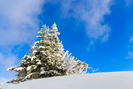 snowcovered: Snow covered pine trees and a small tree in the snow with the blue sky on background, Northern Alps japan, JAPAN Stock Photo