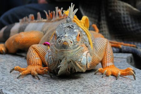 common Iguanas is a genus of omnivorous lizards native to tropical areas of Mexico, Central America, South America, and the Caribbean. Stock Photo
