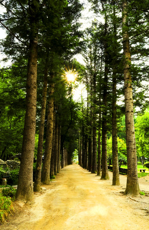 walkway and green tree tunnel , nami island, South Korea or Republic of Korea 免版税图像