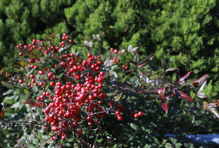 holly berries in japan or Ardisia Crenata ( Myrsinaceae ) plants small and bright red fruit
