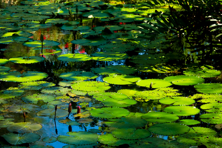 lotus leaf and flower in the pond