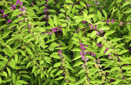 Beautyberry tree or American beautyberry (Callicarpa americana) transition of unripe green to ripe purple or Beautyberry Shrub with Purple berries Stok Fotoğraf