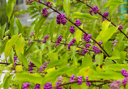 Beautyberry tree or American beautyberry (Callicarpa americana) transition of unripe green to ripe purple or Beautyberry Shrub with Purple berries