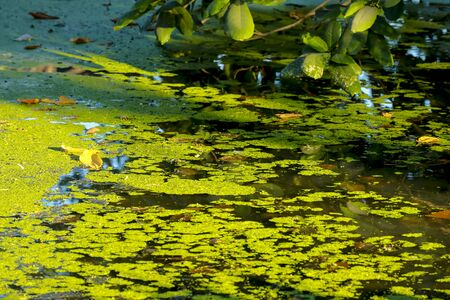 green duckweed over Water in the canal made barrier of oxygen cause dirty water Imagens