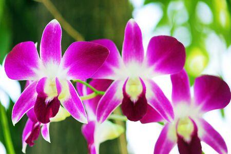 orchid thai: Thai Orchid