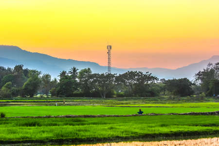Sunset and  rice field in thailand photo