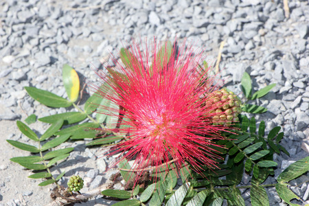 powder puff: Pink Red Powder Puff, Red Head Powder Puff ,. Red Powder Puff or Calliandra haematocephala Hassk with mist in morning