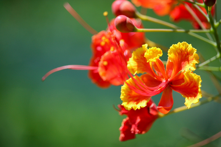 flamboyant: Red Flamboyant flower Stock Photo