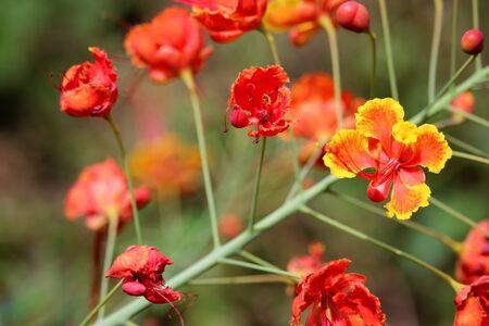flamboyant: Red Flamboyant flower Stockfoto