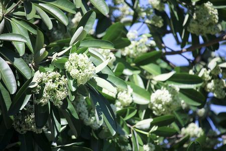 br: Blackboard Tree, Devil Tree, Alstonia scholaris Linn. R. Br., Flowers, herbs, Thailand has medicinal properties. Stock Photo