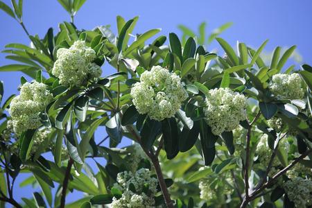 Blackboard Tree, Devil Tree, Alstonia scholaris Linn. R. Br., Flowers, herbs, Thailand has medicinal properties. 版權商用圖片
