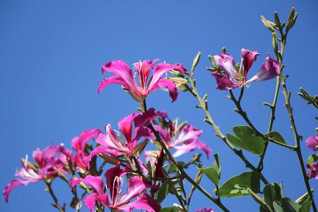 purpurea: Purple Bauhinia flower Stock Photo