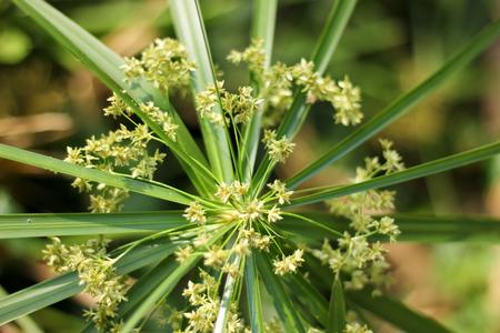 papyrus: Close up of Papyrus Flower .