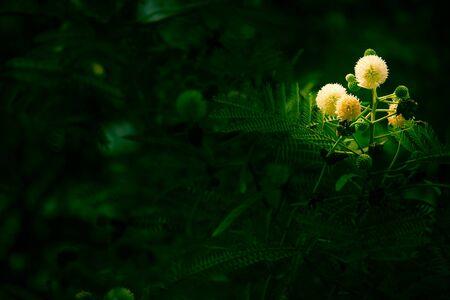 dry leaf: Flower of Horse tamarind tree, Leucaena fruit ,White Popinac Wildflowers