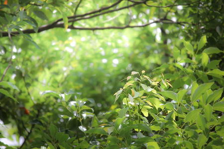cinnamomum: Leaf of Cinnamomum camphora tree Stock Photo