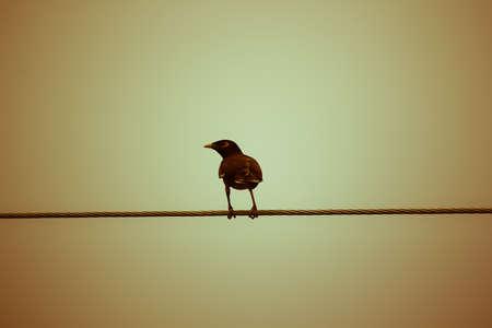 common myna bird: Retro effect Common Myna bird (Acridotheres tristis) perching on electric wire