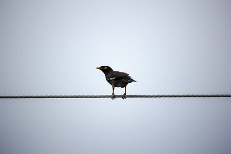 common myna bird: Common Myna bird (Acridotheres tristis) perching on electric wire