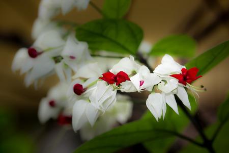 hemorragias: Bleeding Glorybowers flowers or bag flower(Clerodendrum thomsoniae)