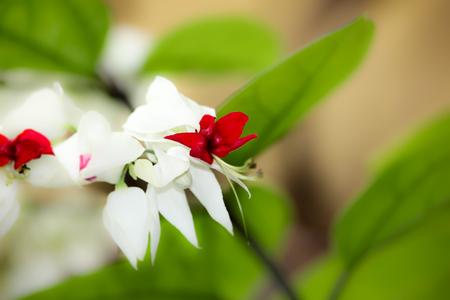 hemorragias: El sangrado de las flores glorybower o flor bolsa (Clerodendrum thomsoniae)
