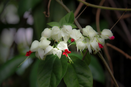 abloom: Bleeding Glorybowers flowers or bag flower(Clerodendrum thomsoniae)