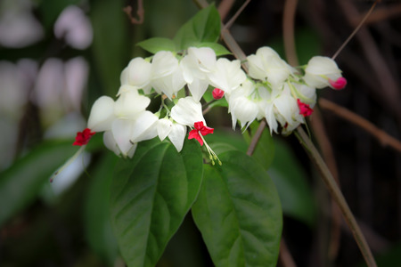 Bleeding Glorybowers flowers or bag flower(Clerodendrum thomsoniae)