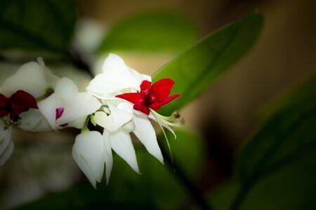 bleeding: Bleeding Glorybowers flowers or bag flower(Clerodendrum thomsoniae)