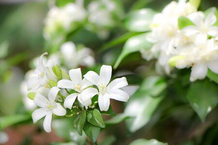 jessamine: Orange Jessamine flowers