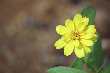 cav: Clouse up Zinnia flower or Zinnia violacea Cav. Stock Photo
