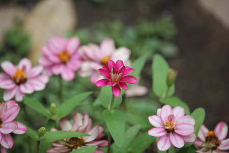 Clouse up Zinnia flower or Zinnia violacea Cav. Stock Photo