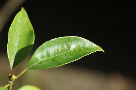 cinnamomum: Close up Leaf of Cinnamomum camphora tree
