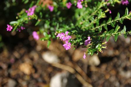 falso: Close up of Small False heather Flower