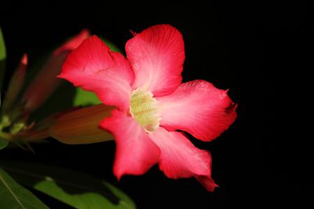 Close up of Pink Desert rose flowers