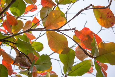 backlit photo of Dipterocarpus tuberculatus Roxb leaf Stock Photo