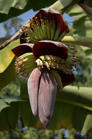 Close up of Red banana blossom with blur background