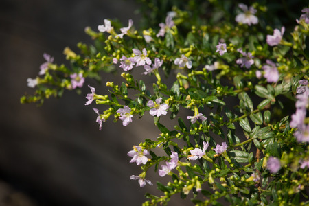 Close up of Small Soft Pink False heather Flower