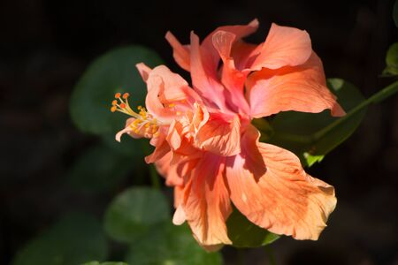 Close up of Orange Hibiscus rosa Flower with green leaf background Stock Photo
