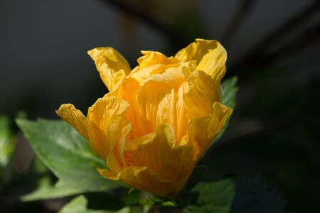 Close up of Yellow  Hibiscus rosa Floweri with green leaf background Stock Photo
