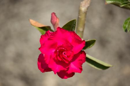 Close up of soft pink desert rose flowers stock photo picture and close up of soft pink desert rose flowers stock photo 74013554 mightylinksfo